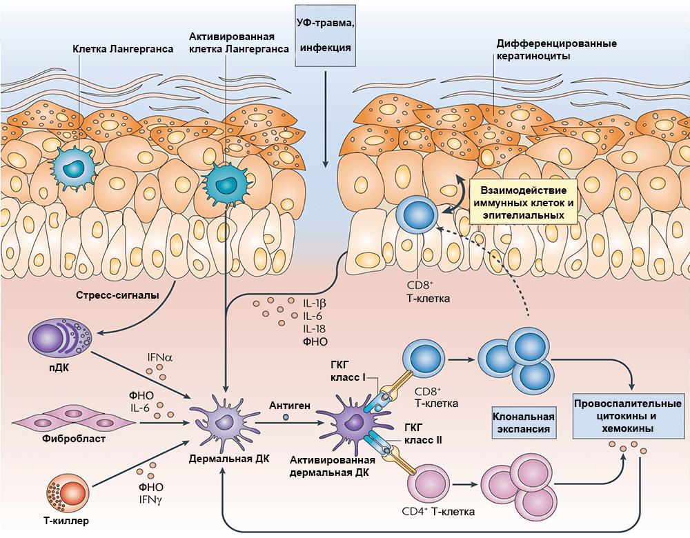 Работа клеток иммунной системы при псориазе