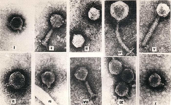 Морфоварианты бактериофагов