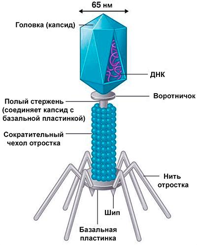 Схема строения вириона фага