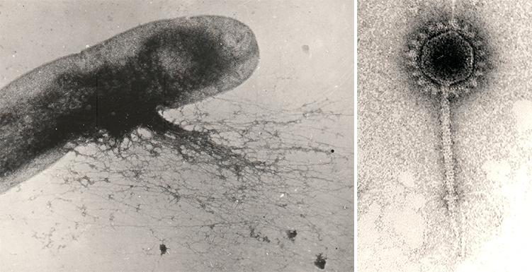 Лизис E. coli
