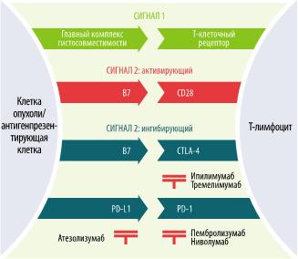 Взаимоотношение T-лимфоцита и опухолевой клетки
