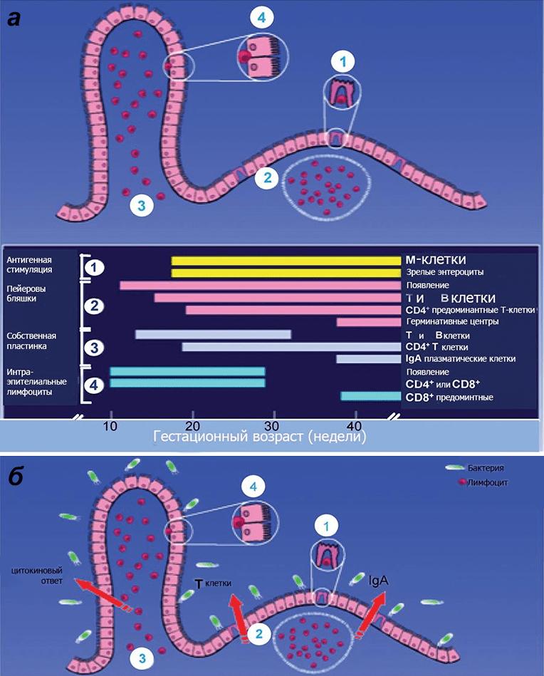 Схема иммунной защиты слизистой оболочки кишечника плода
