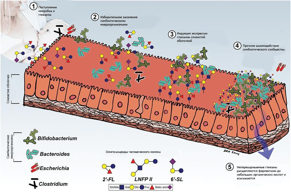 Взаимодействие гликанов человеческого молока и микробиоты