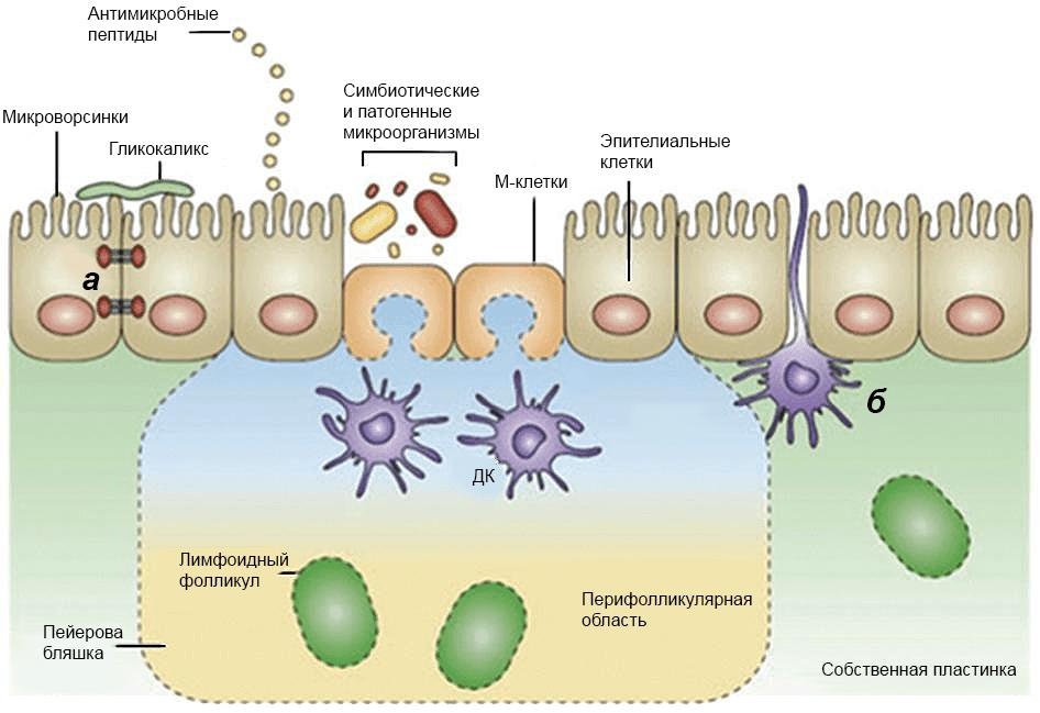 Эпителиальный барьер кишечника