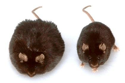 Обычная мышь и ожиревшая