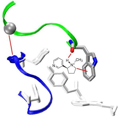 С-петля никотинового рецептора