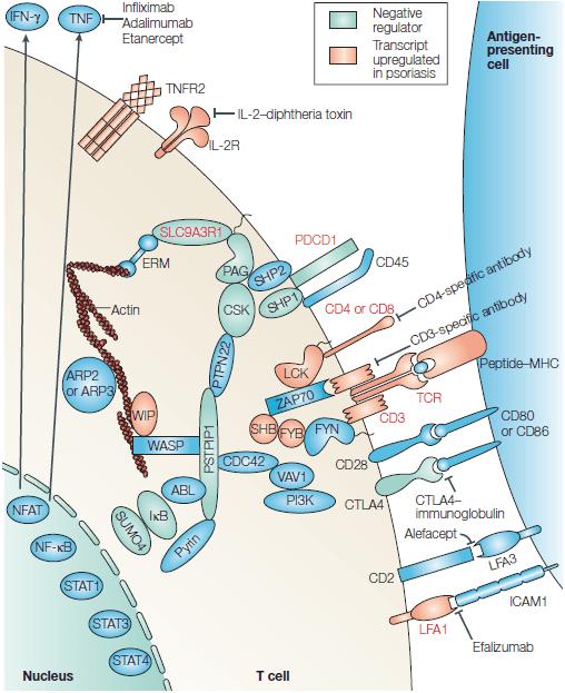Схема взаимодействия Т-клетки с антигенпредставляющей клеткой