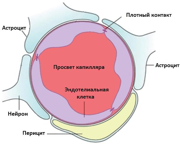 Строение капилляра головного мозга
