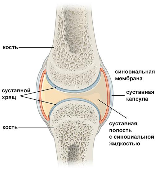 Схема строения сустава