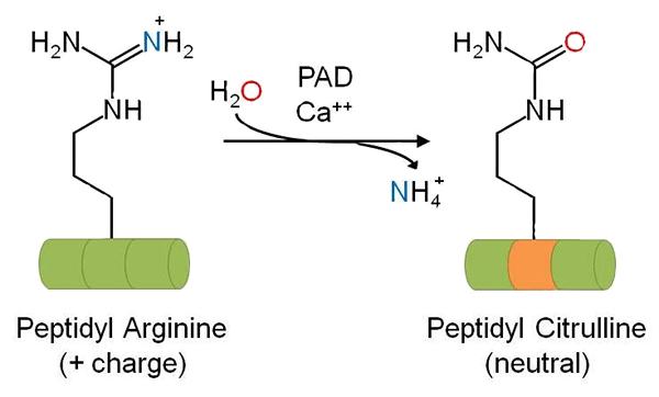 Цитруллинирование белков