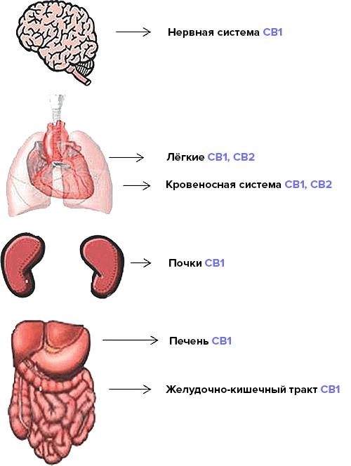 Каннабиноидные рецепторы в органах человека