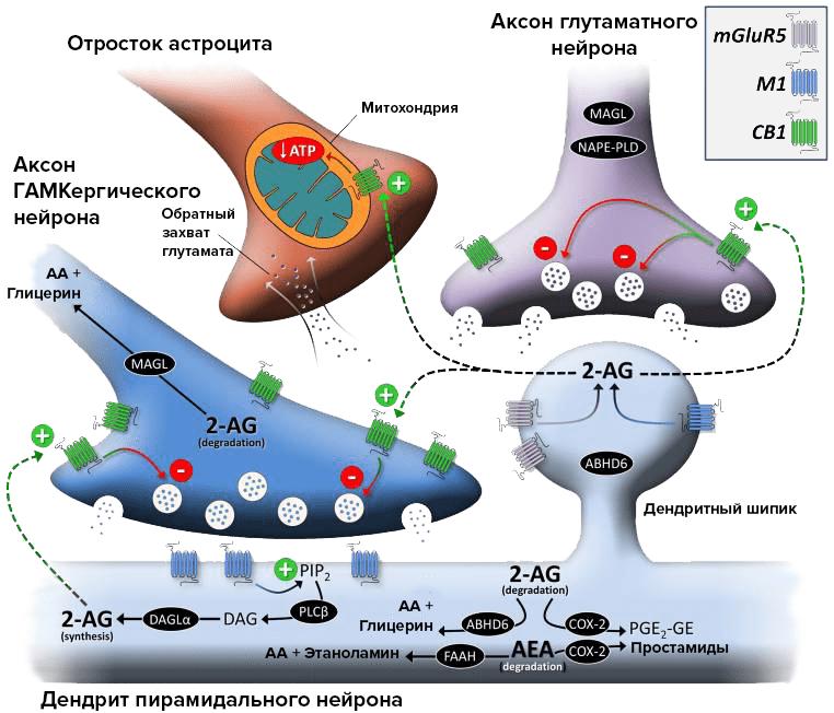 Роль рецепторов CB1