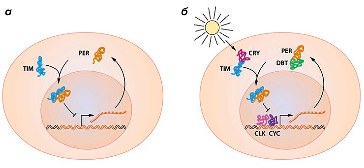В организме действует белковый осциллятор