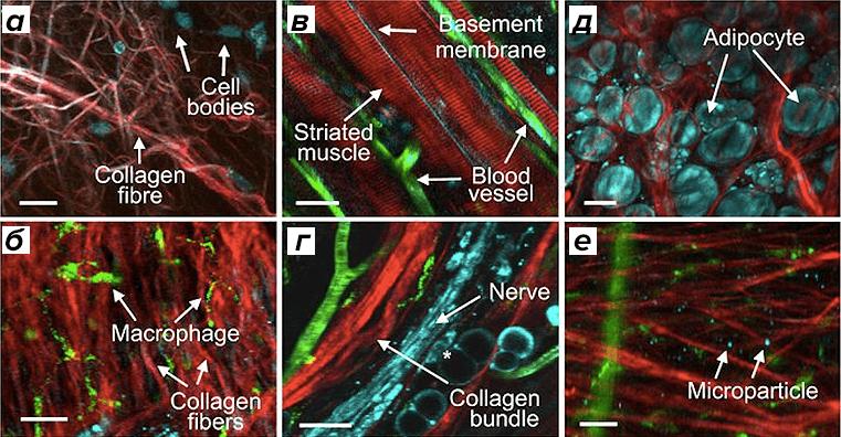 ткани под микроскопом