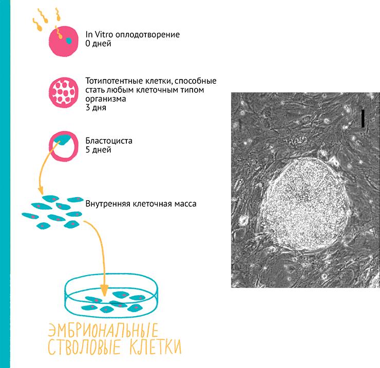 Схема получения и микрофотография колонии ЭСК