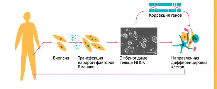 Схема получения и изображение эмбриоидных телец ИПСК