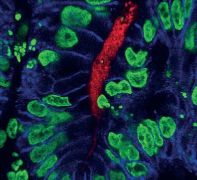 Срез органоида кишечника