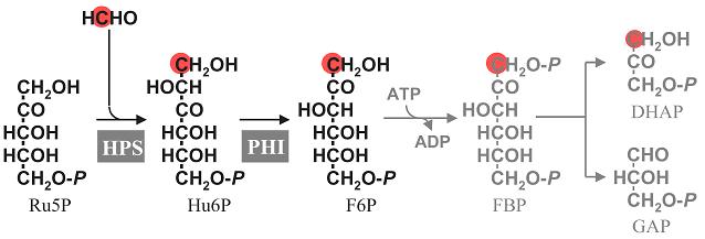 Утилизация формальдегида метилотрофными бактериями