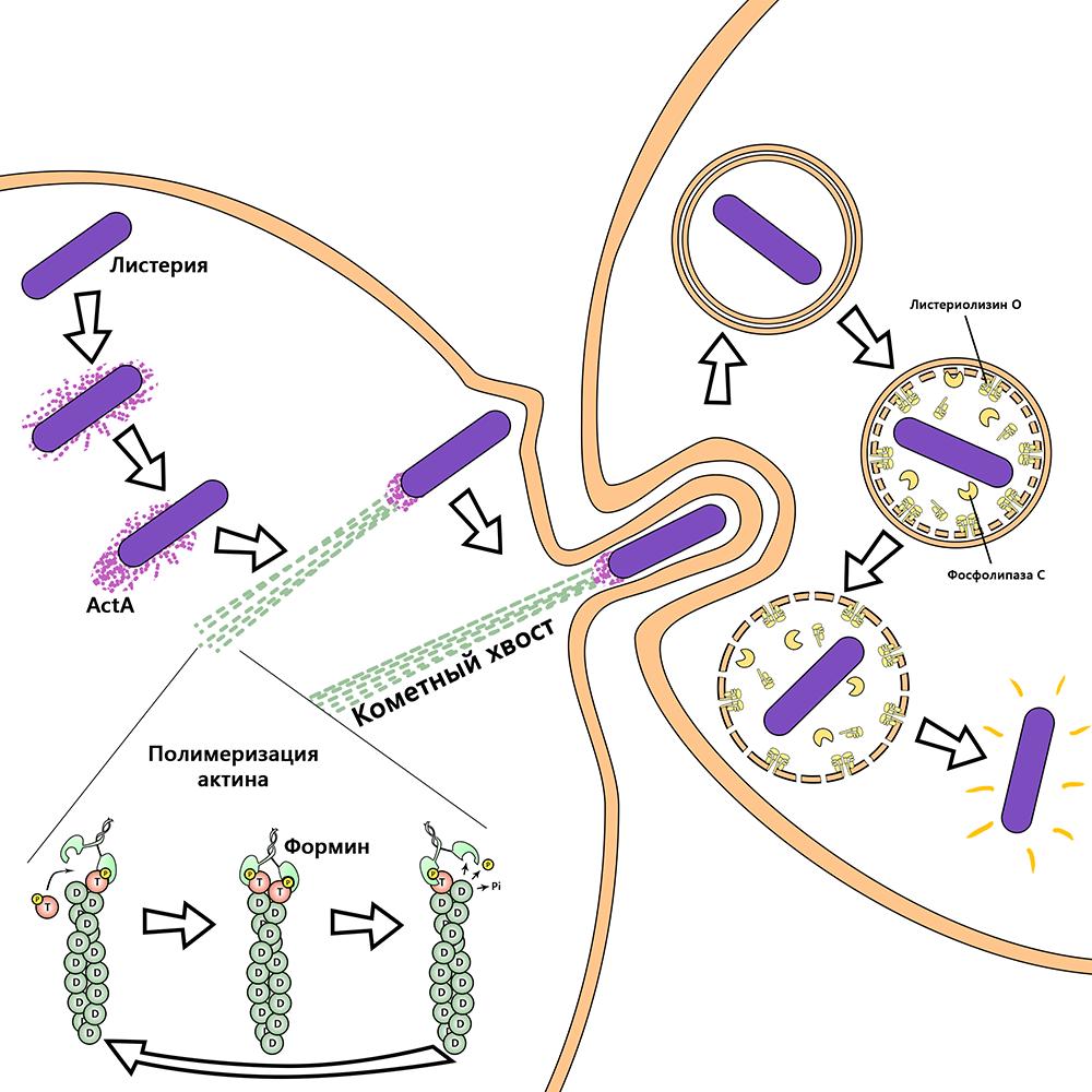 Парацитофагия