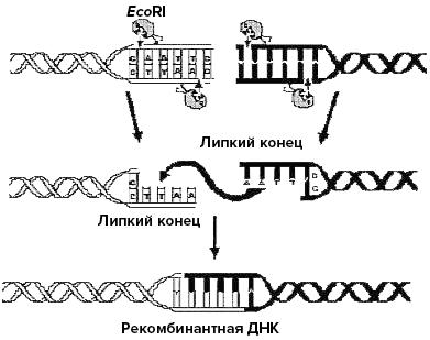 Применение эндонуклеазы