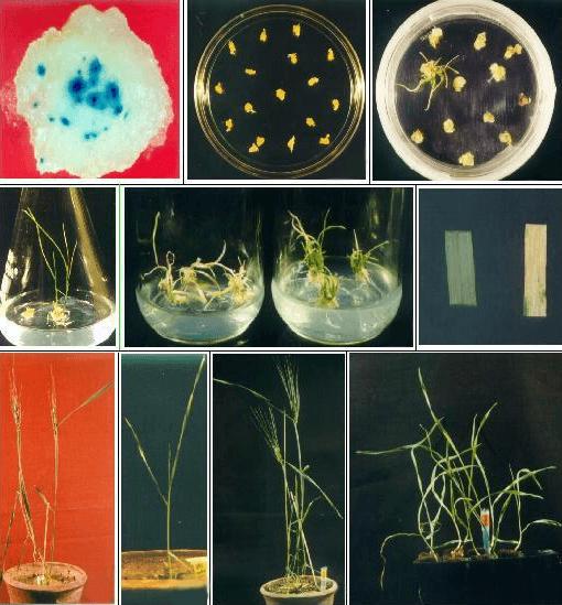 Получение культуры клеток растения