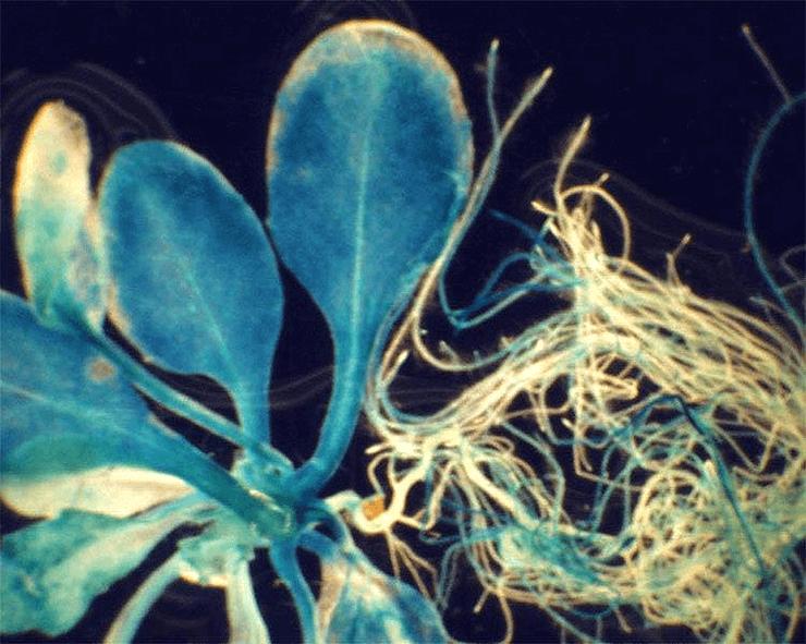 Глюкуронидаза в растительных клетках
