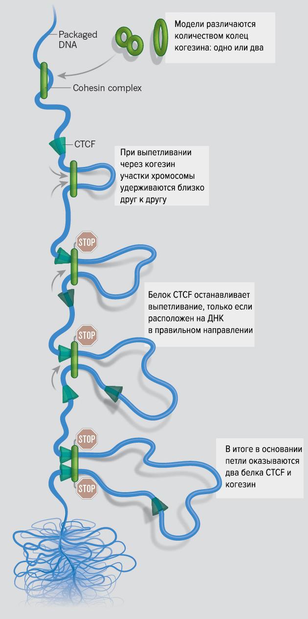 Модель петлеобразования