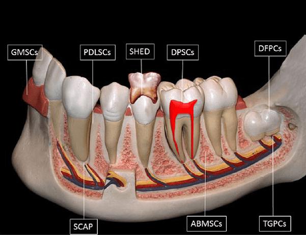 Стволовые клетки зуба