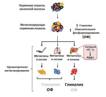 Метаболизм опухоли и метастазов