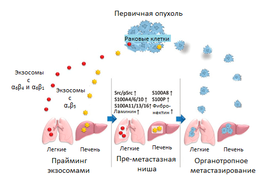 Регуляция органотропного метастазирования