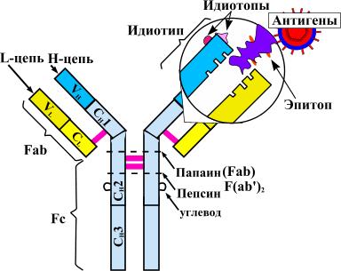 Схема строения антител