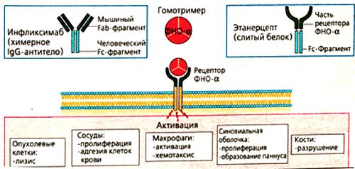 Основные эффекты ФНО