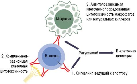 Механизм работы ритуксимаба