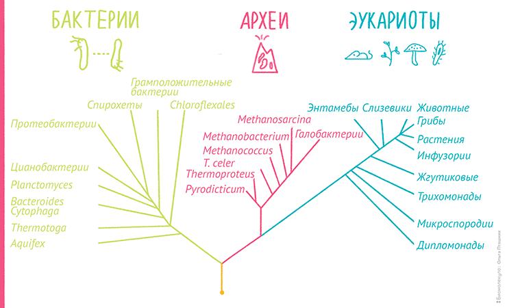 Пример филогенетического дерева