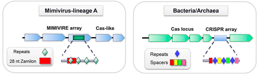 MIMIVIRE и CRISPR/Cas