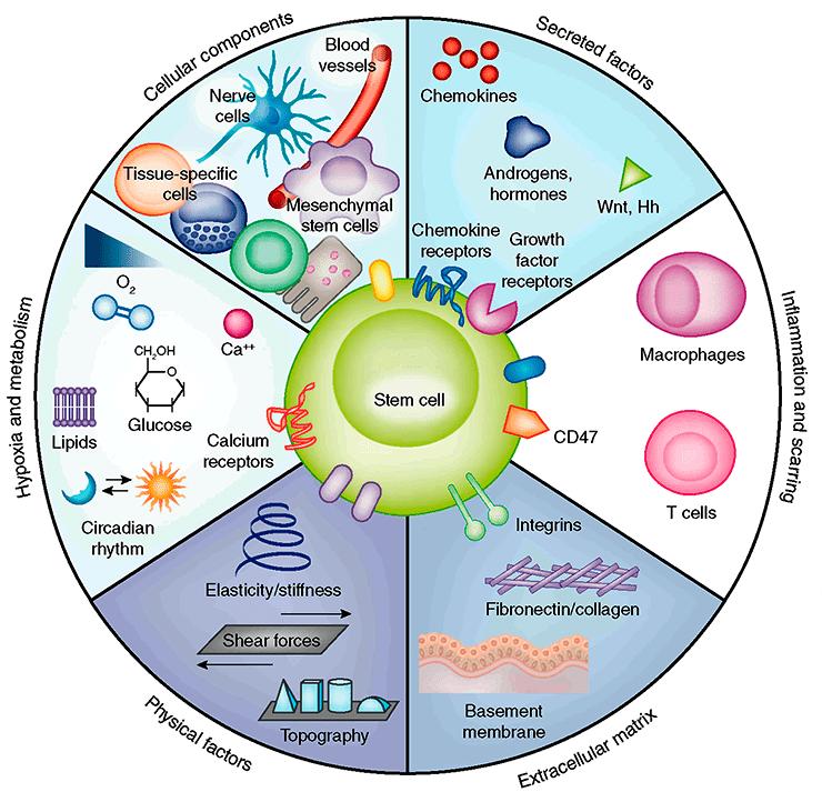 Ниша стволовой клетки
