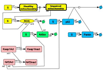 Упрощенная схема регуляции АФК