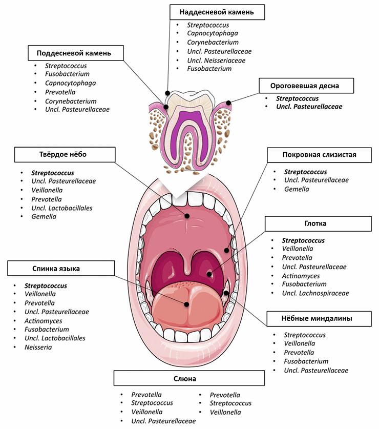 Состав ключевой микробиоты ротовой полости