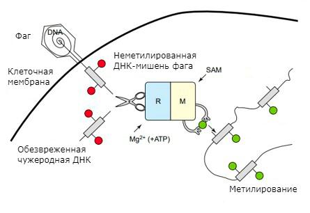 Механизм действия системы рестрикции-модификации