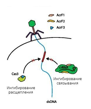 Механизмы защиты фагов от системы CRISPR-Cas