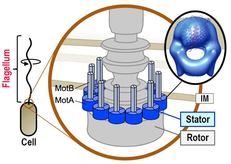 Роль протеинов MotA и MotB