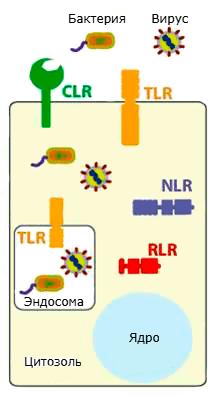 Разновидности рецепторов опознавания паттернов в клетках эукариот