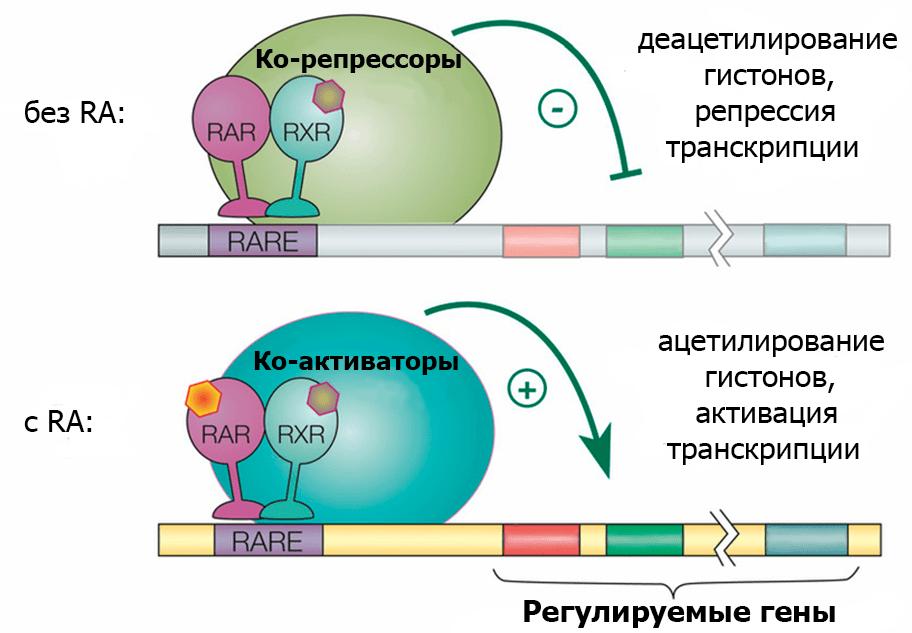 Принцип работы ретиноидных рецепторов