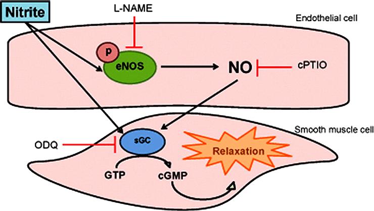 Превращение нитрита в NO в сосудистой стенке