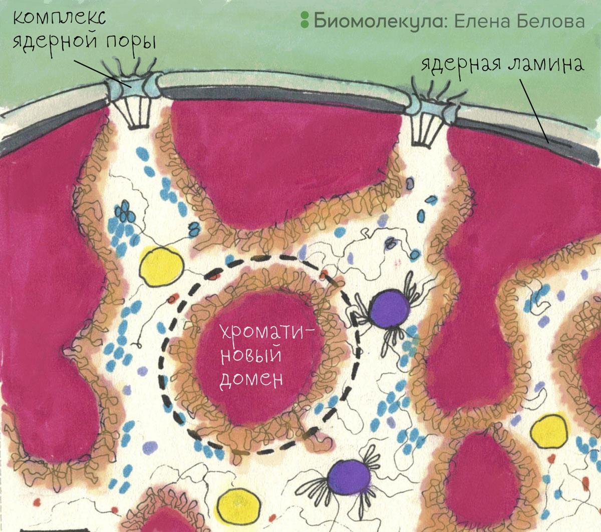 Модель организации хроматинового домена