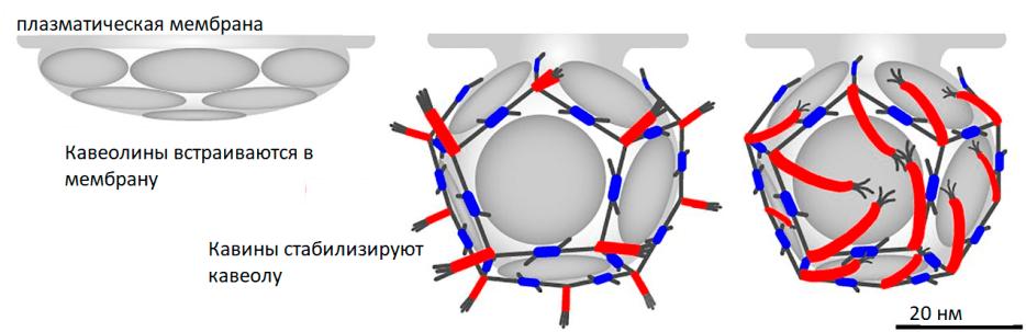 Схема образования кавеол