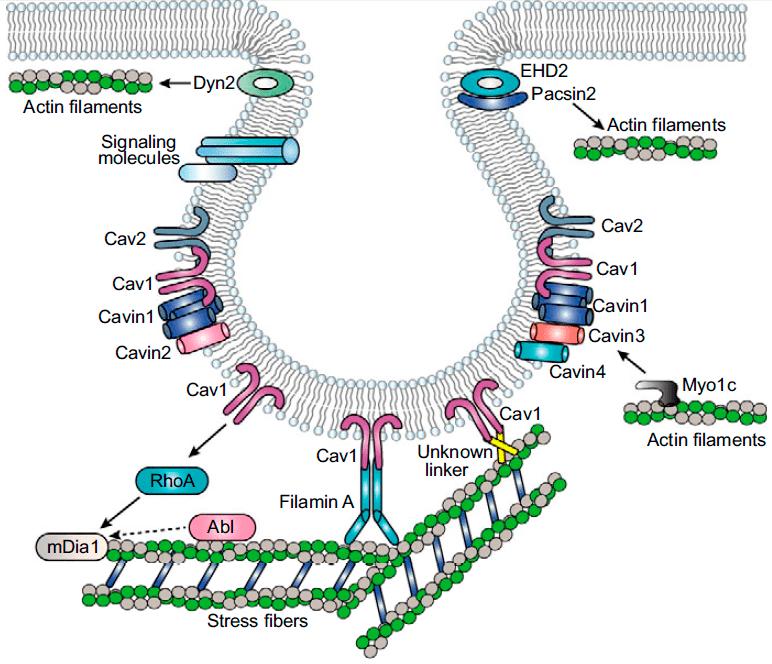 Связь кавеол со стресс-фибриллами и актиновым цитоскелетом