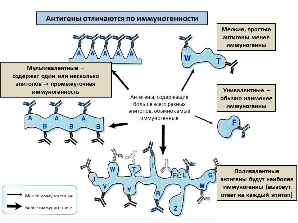 От чего зависит иммуногенность антигена?