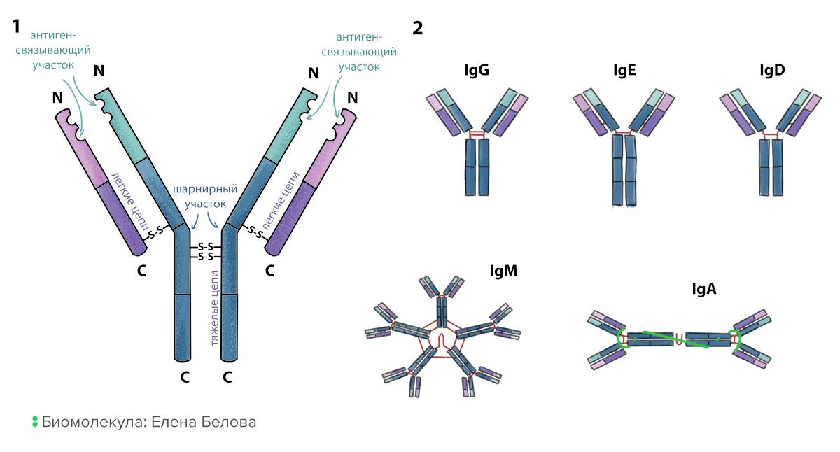 Строение и классы антител