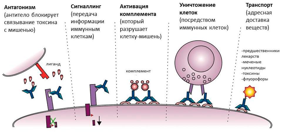 Разнообразие функций антител